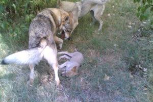 cane lupo cecoslovacco terry & cuccioli 85