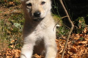 cane lupo cecoslovacco viktor - boghi 85