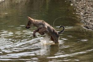 cane lupo cecoslovacco zaccaria d.V.A. 0795