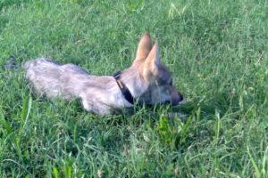 cane lupo cecoslovacco zara d.V.A. 0020