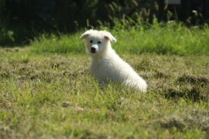 pastore svizzero bianco dexter 0021