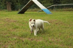 pastore svizzero bianco dexter 0043