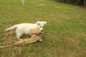 pastore svizzero bianco dexter 0052