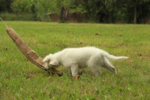 pastore svizzero bianco dexter 0054