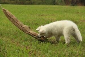 pastore svizzero bianco dexter 0055