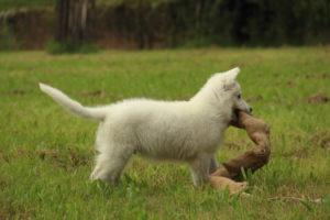 pastore svizzero bianco dexter 0056