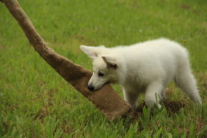 pastore svizzero bianco dexter 0057