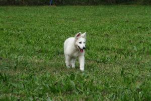 pastore svizzero bianco dexter 0085